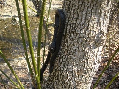 Snake in a tree!