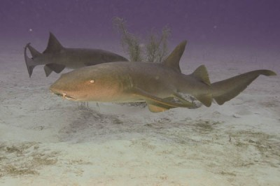 A nurse shark wonders across the sand.